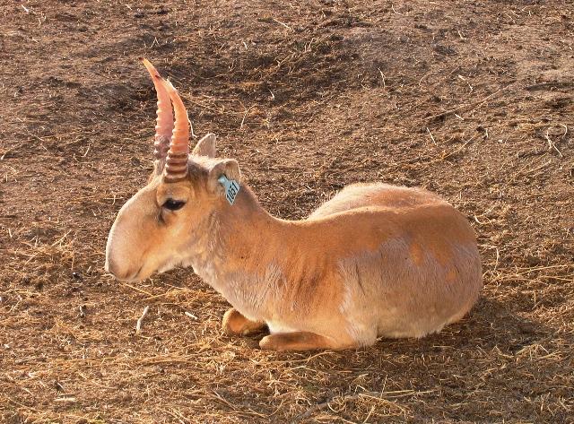 Saiga antelope. CC BY-SA 3.0 Author: https://commons.wikimedia.org/wiki/User:Arkhivov